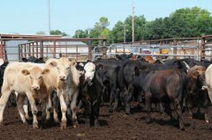 beef cattle in a feedlot